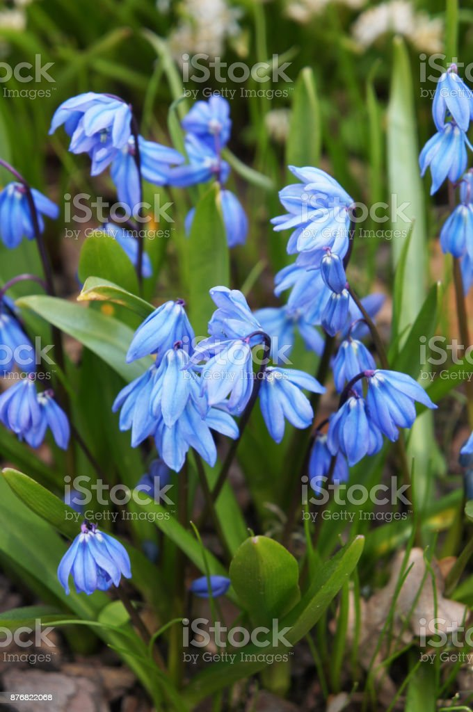 Blue scilla siberica flowers with green vertical stock photo