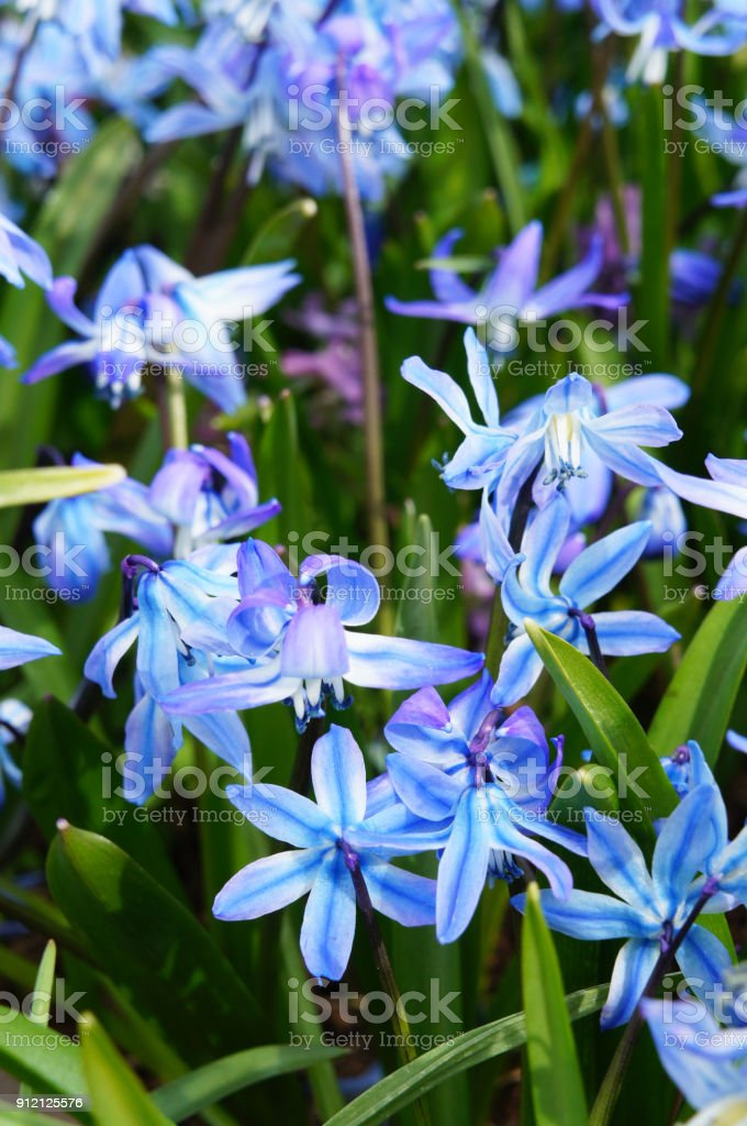 Blue scilla siberica flowers with green, vertical stock photo