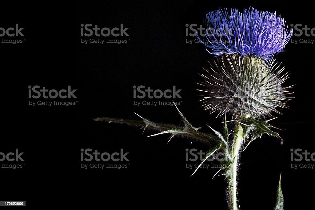 Blue Scottish Thistle Close Up stock photo