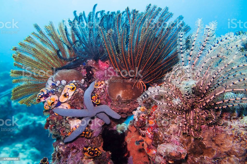 Blue Sea Starfish and Feather Stars, Sipadan, Malaysia stock photo