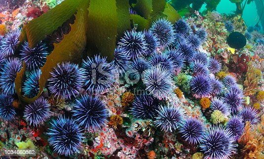 A group of blue sea urchins