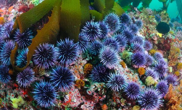 blue sea urchin-gruppe - seeigel stock-fotos und bilder