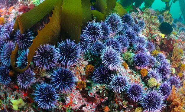 Blue sea urchin group stock photo