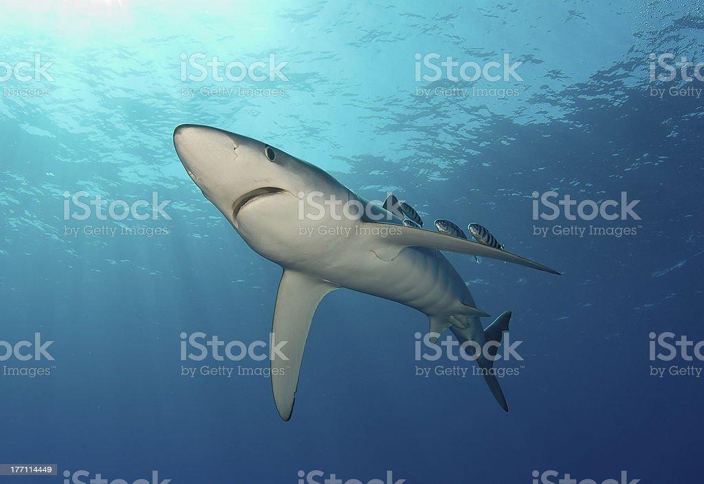Blue shark and pilotfishes stock photo
