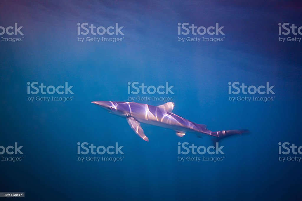 Blue Shark, Cornwall stock photo