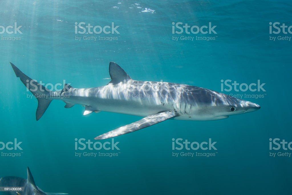 Blue Shark Cruising in Ocean stock photo