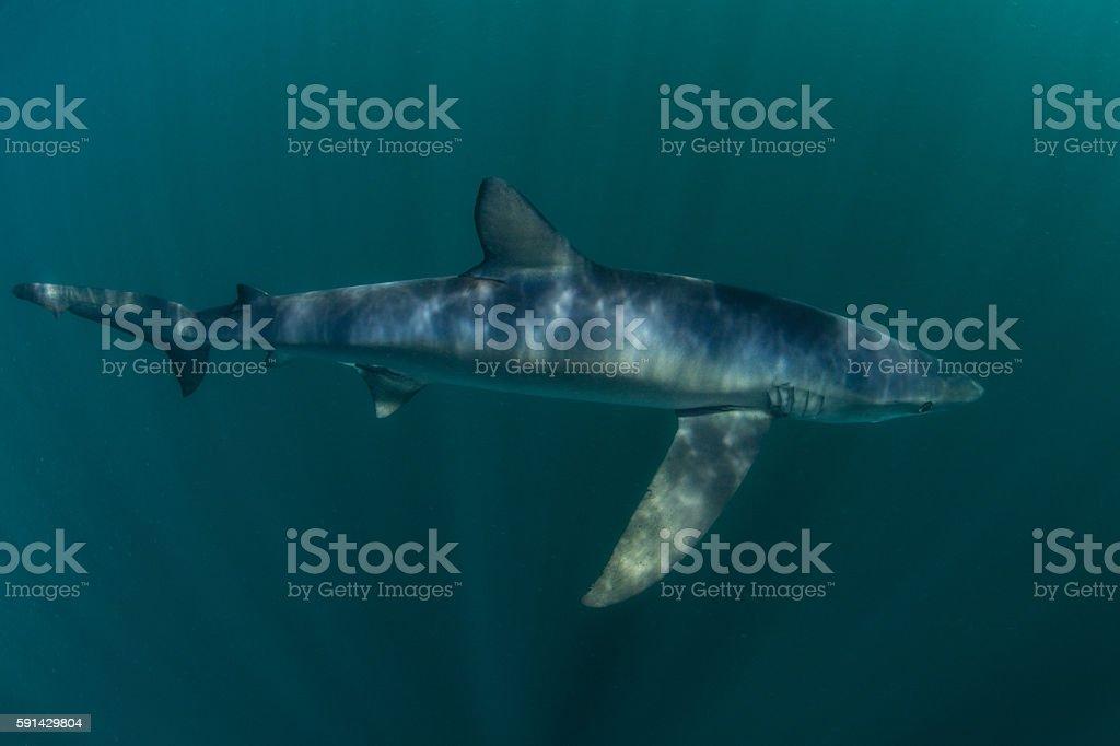 Blue Shark in Atlantic Ocean stock photo