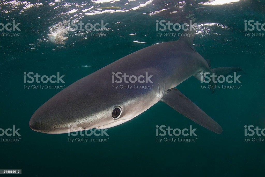 Blue shark in the deep blue stock photo