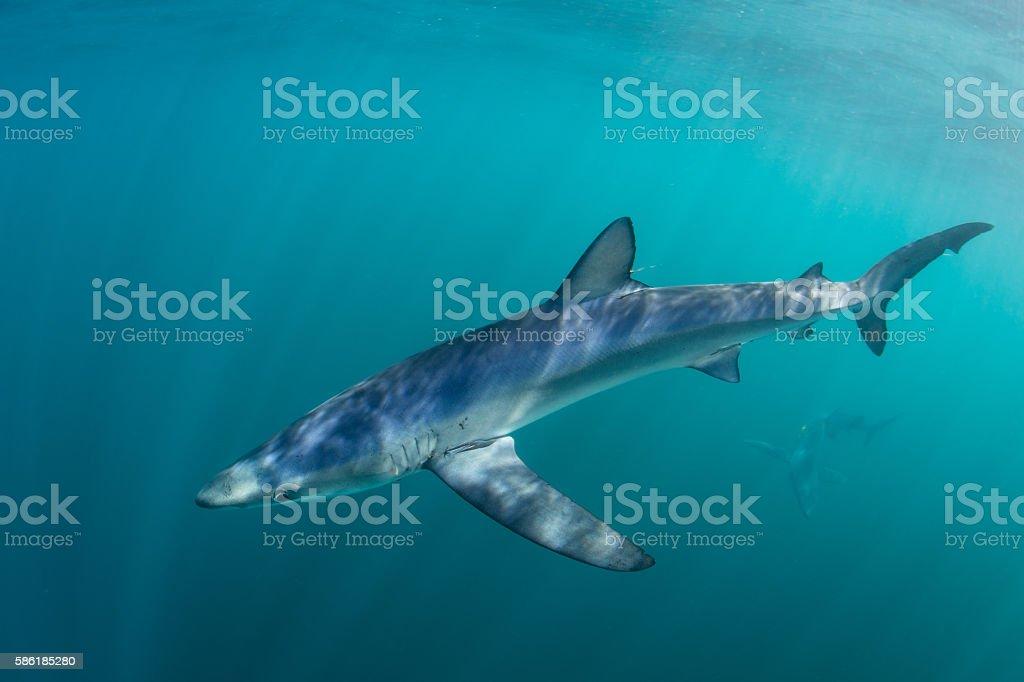 Blue Shark Near Surface of Atlantic Ocean stock photo