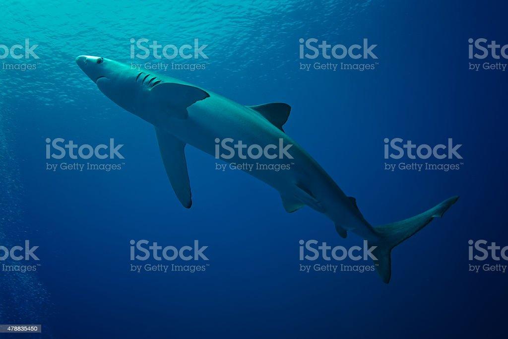 Blue Shark-(Prionace glauca) stock photo