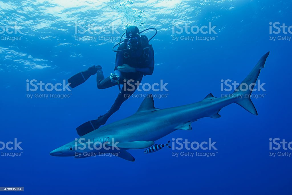 Blue Shark- (Prionace glauca – Foto