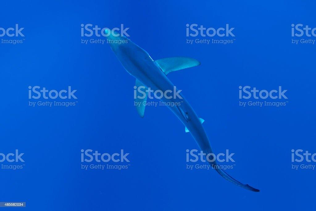 Blue Shark (Prionace glauca) stock photo