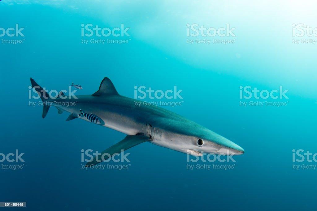Blue Shark stock photo