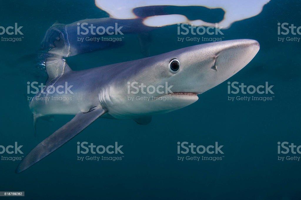 Blue shark portrait stock photo