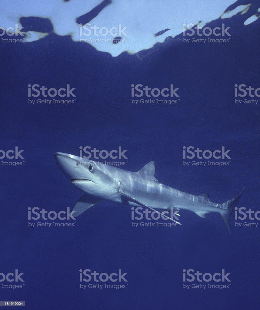 Blue shark swimming gracefully in deep ocean waters stock photo