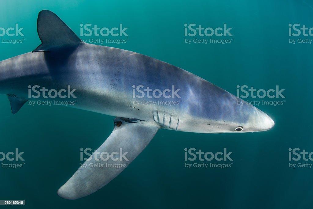 Blue Shark Up Close in Atlantic Ocean stock photo