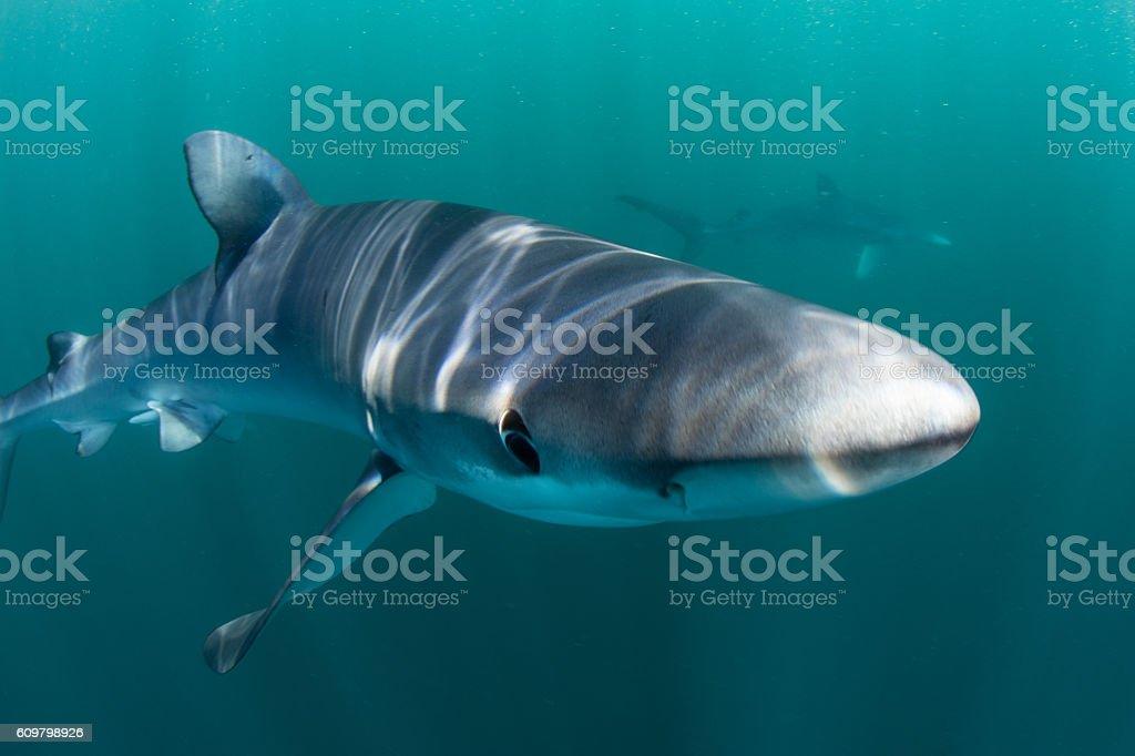 Blue Shark Up Close stock photo