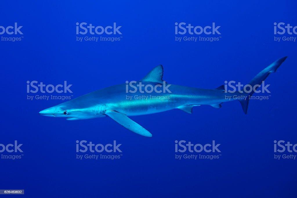 Blue Shark-Prionace glauca stock photo
