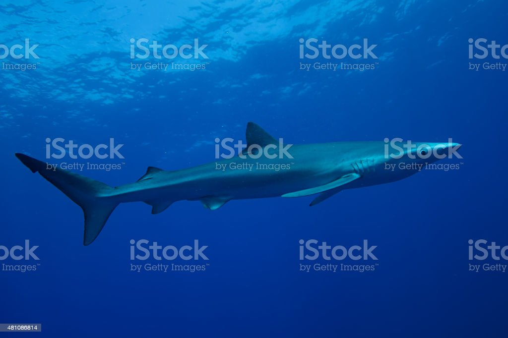 Blue Shark-Requin bleu (Prionace glauca) stock photo