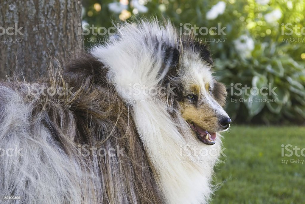 Blue Shetland Sheepdog royalty-free stock photo