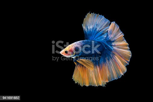 istock A blue siamese fighting fish and yellow tail on black background 941691652