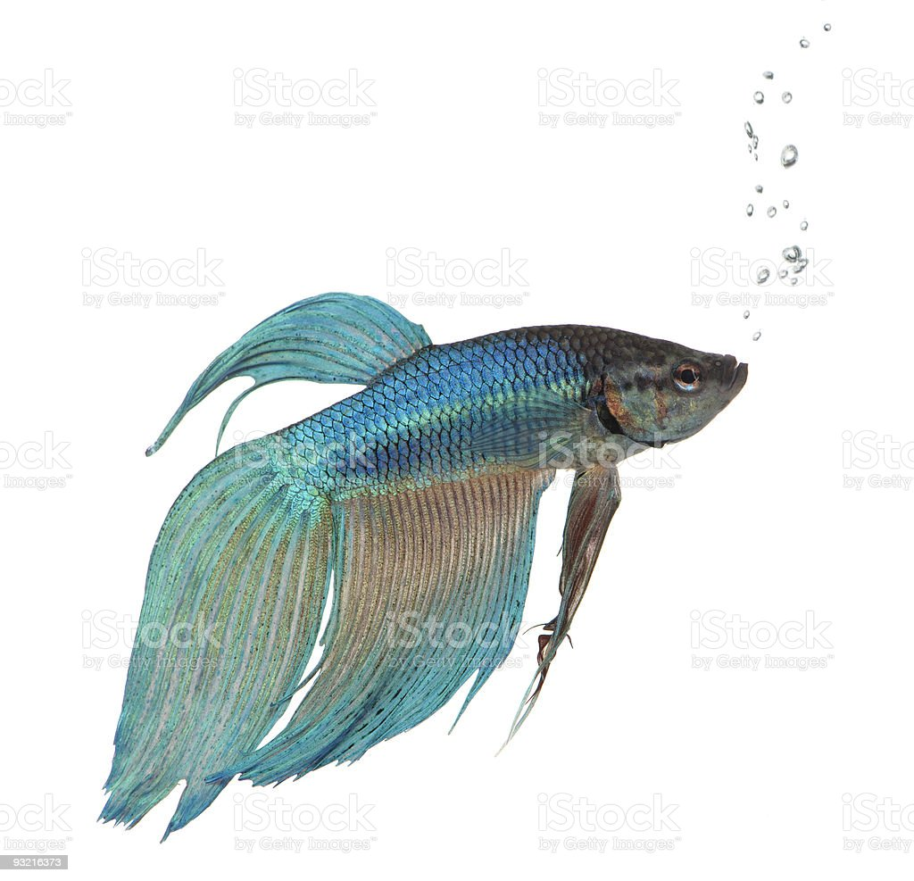 blue Siamese fighting fish - Betta Splendens royalty-free stock photo