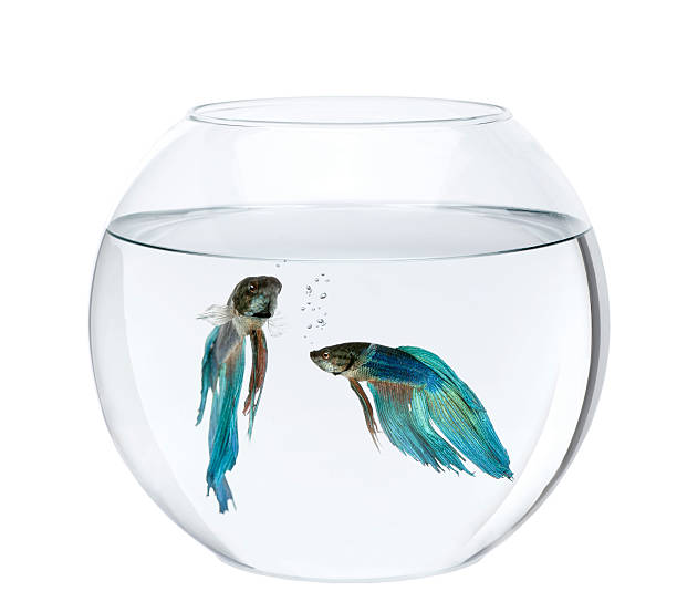 Blue Siamese fighting fish in an aquarium, against white background stock photo