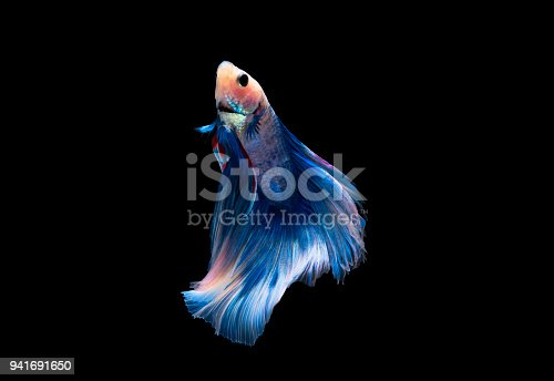 istock A blue siamese fighting fish on black background 941691650