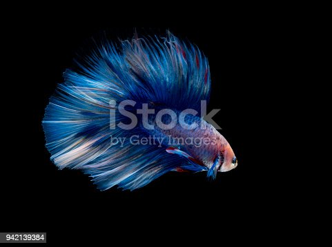 istock A blue siamese fighting fish on black background 942139384