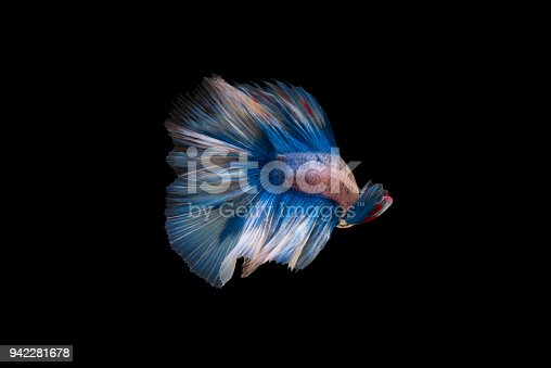 istock A blue siamese fighting fish on black background 942281678