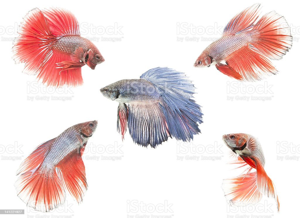 blue siamese fighting fish surrounded by red ones royalty-free stock photo