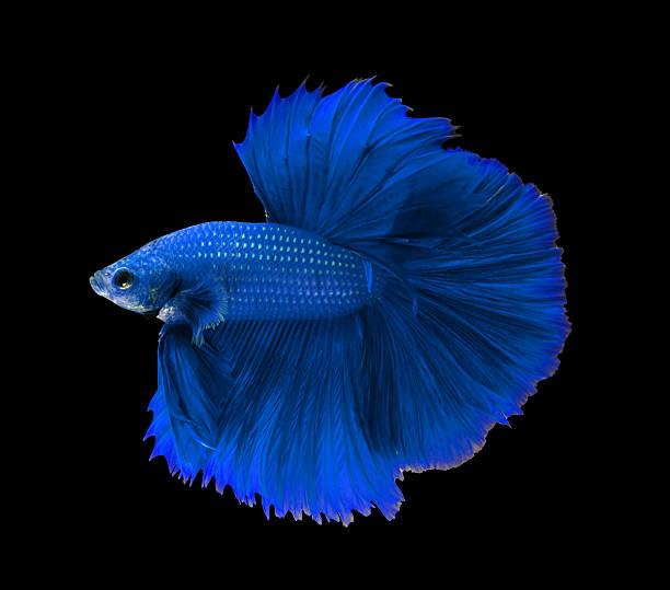 Blue siamese fighting fish,Halfmoon betta fish isolated on black stock photo