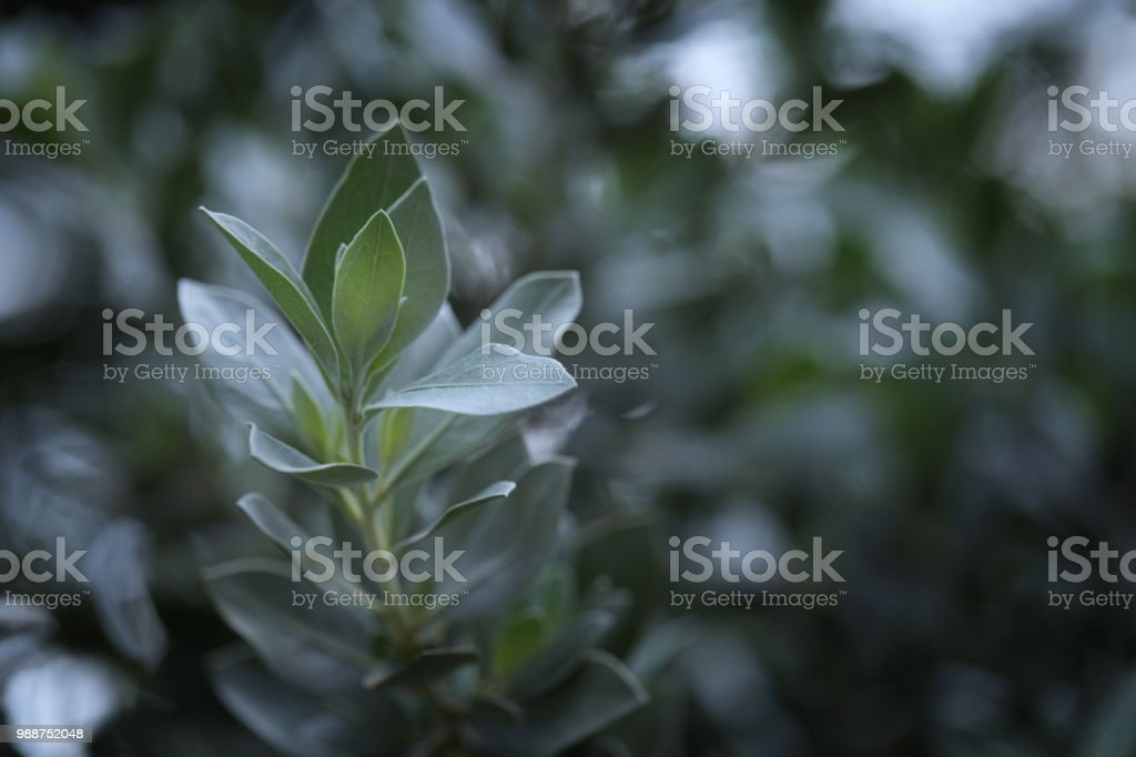Blue silvered leaves on branch stock photo
