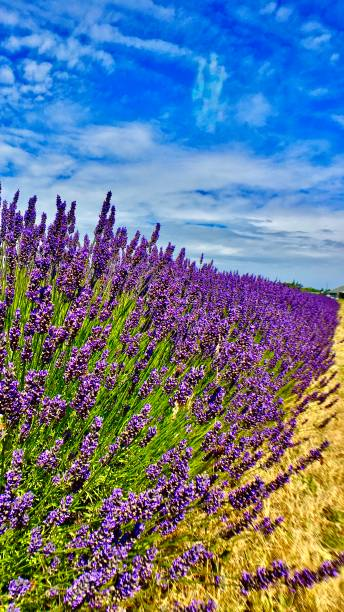 blue skies and a purple row of lavender driving in sequim, wa - usa samuel howell stock pictures, royalty-free photos & images