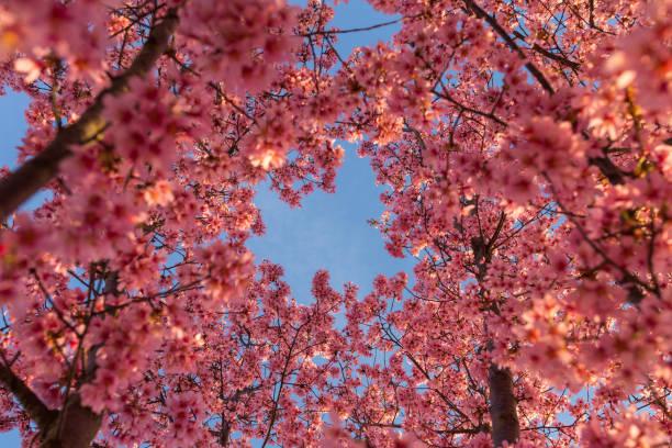 blue skies and cherry blossoms - cherry blossoms imagens e fotografias de stock