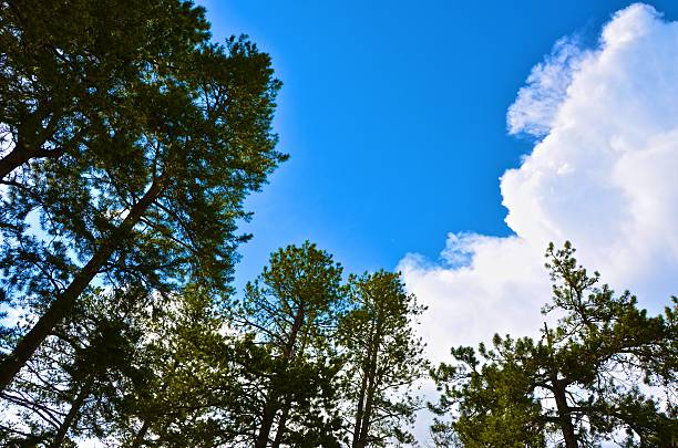 Blue skies and clouds above the pines stock photo