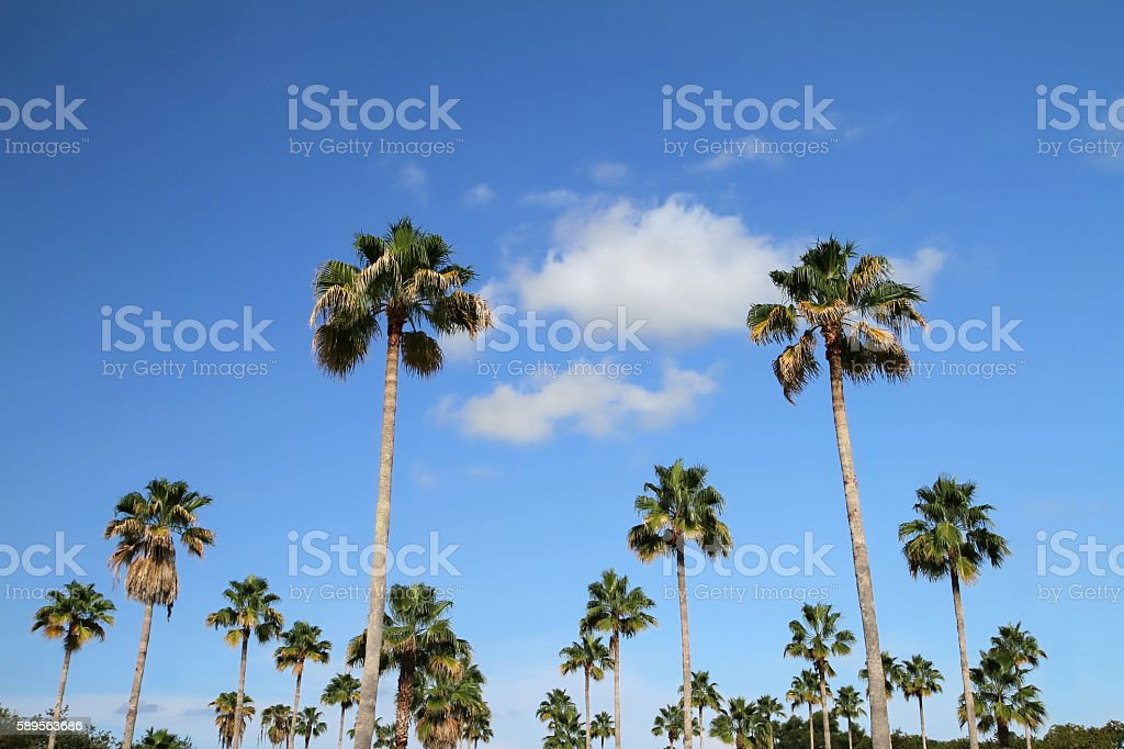 Blue skies and tall palm trees stock photo