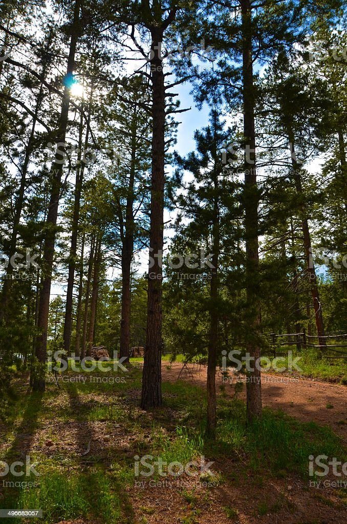Blue skies through the pines stock photo