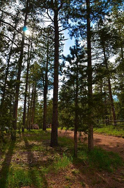Blue skies through the pines stock photo
