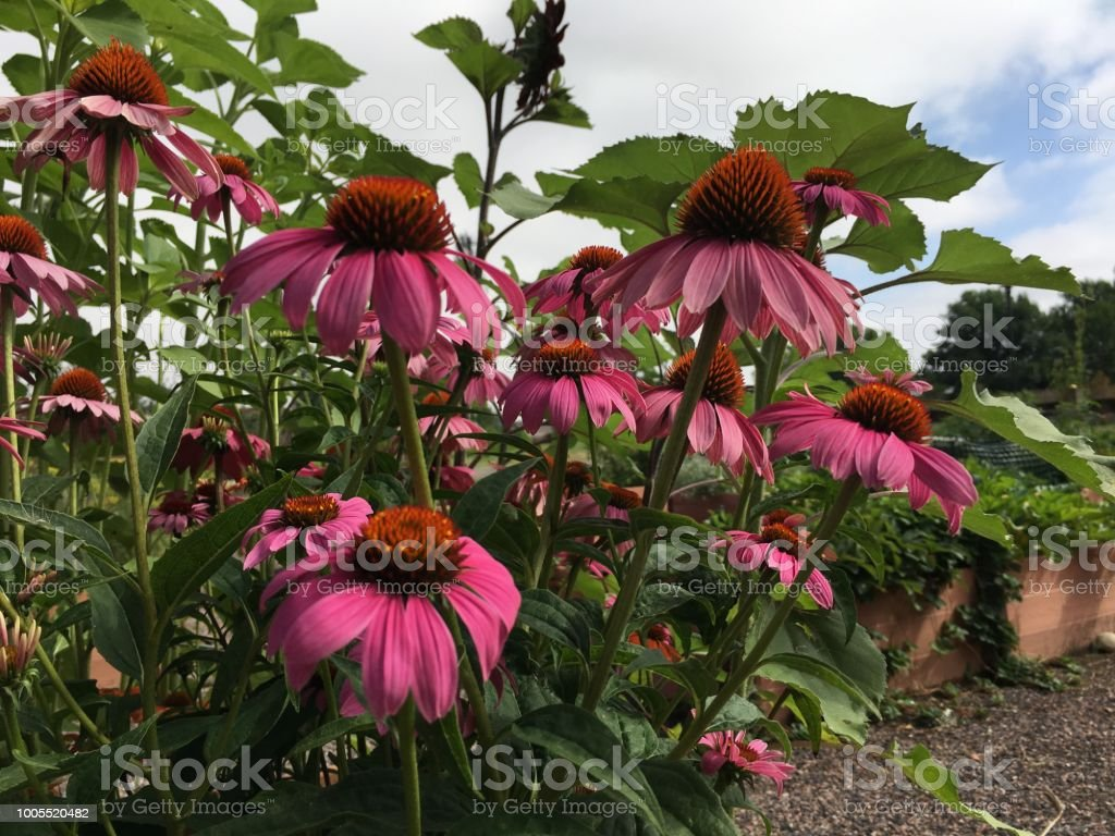 Blue sky, a garden, and echinacea that grows in a container garden