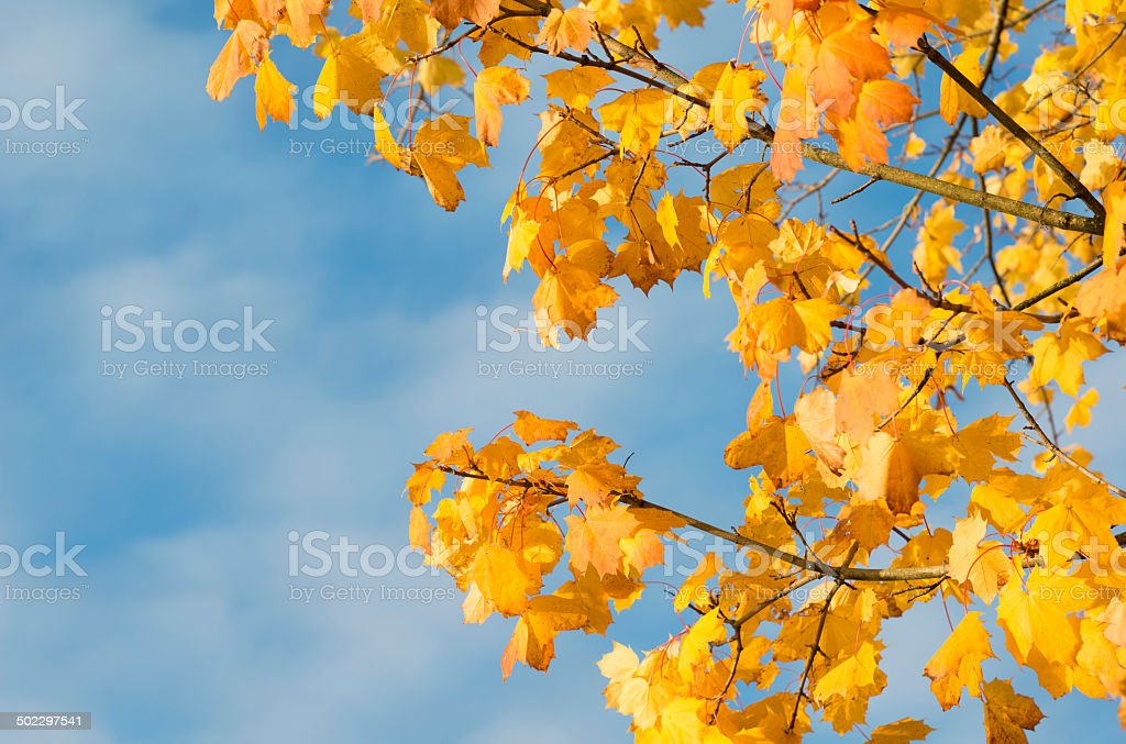 Blue sky and branches of Norwegian Maple in fall royalty-free stock photo