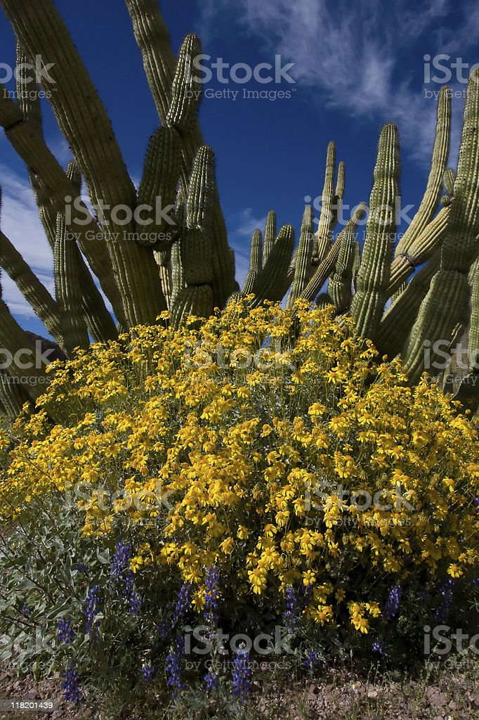 Blue Sky and Brittlebush royalty-free stock photo