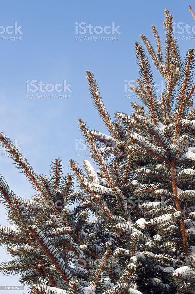 Blue sky and Colorado spruce tree royalty-free stock photo