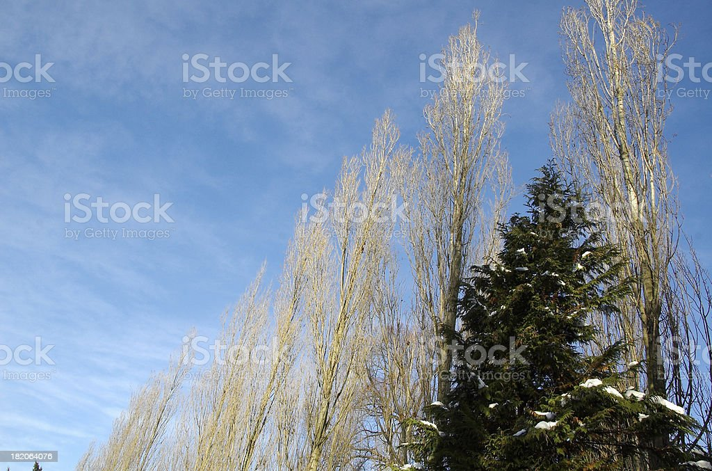 Blue sky and dried trees royalty-free stock photo