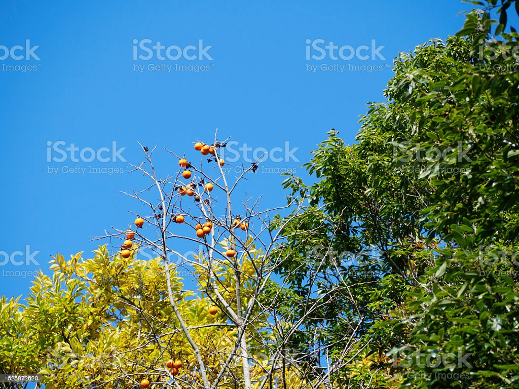 Blue sky and fruiting persimmon fruit ストックフォト
