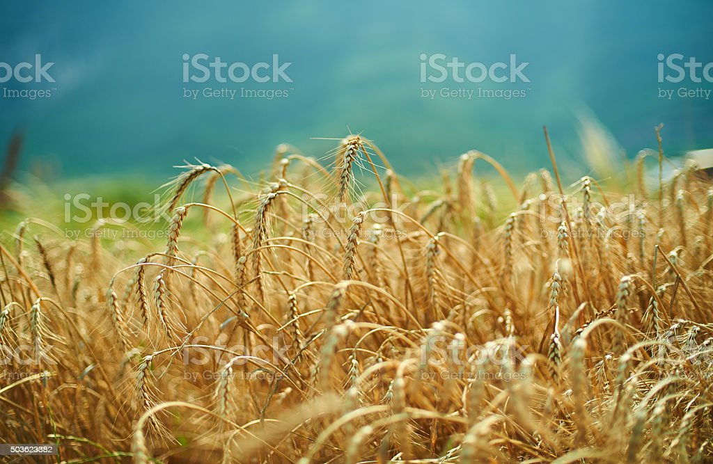 blue sky and golden yellow wheat spiklets field horizontal lands stock photo