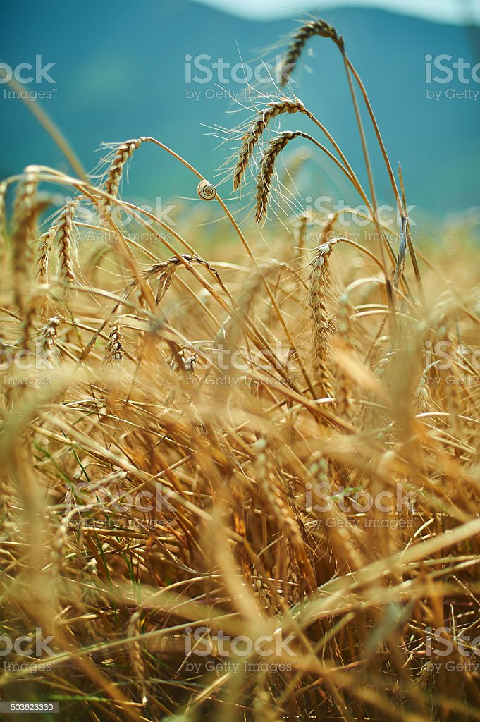blue sky and golden yellow wheat spiklets field stock photo