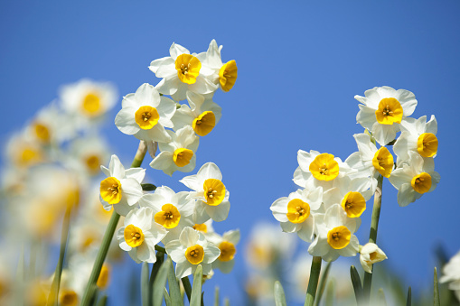 Blue sky and narcissus