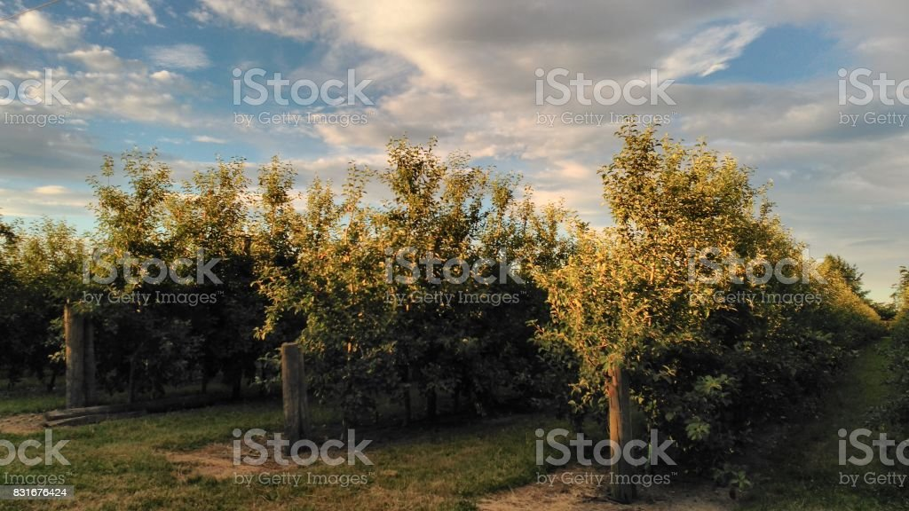 Blue sky and small apples in orchard organic stock photo