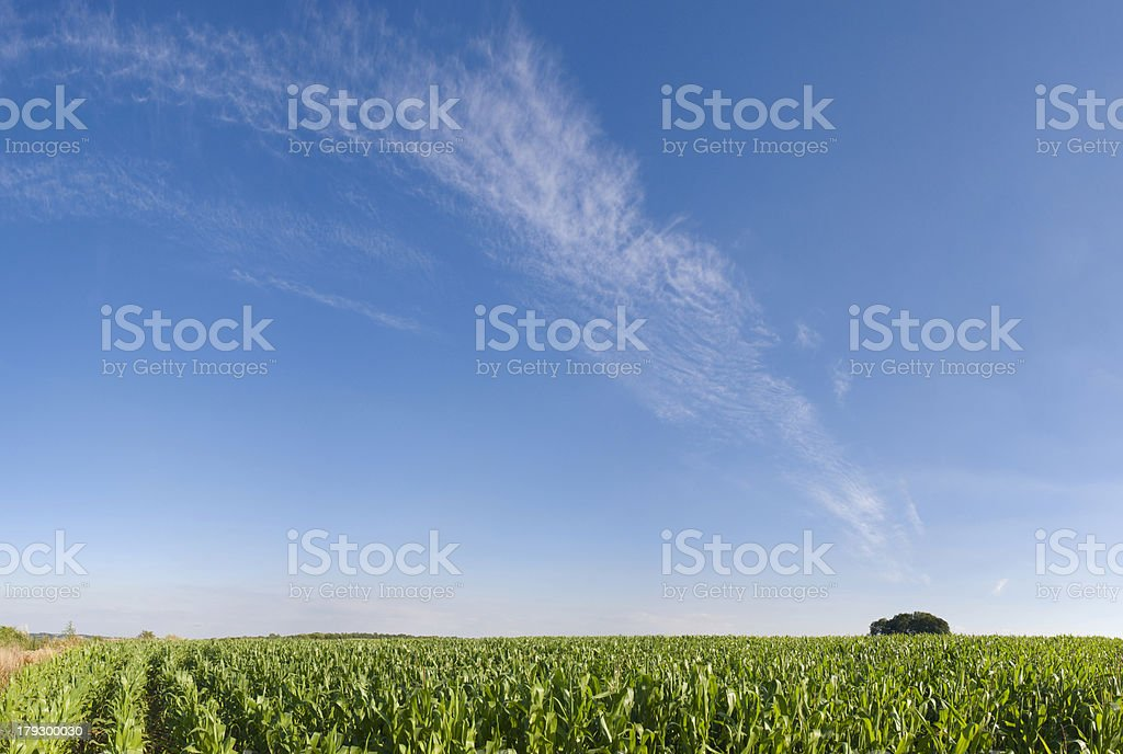 Blue sky and summer crops royalty-free stock photo